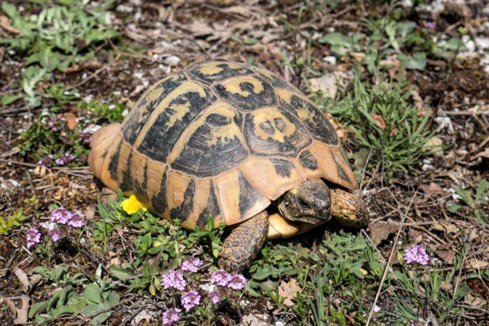 Landschildkröten sind in Griechenland oft zu finden