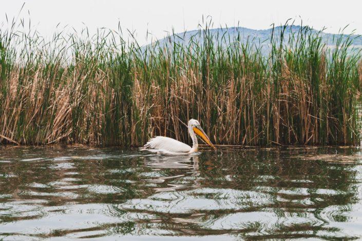 Pelikane am Kastoria Lake