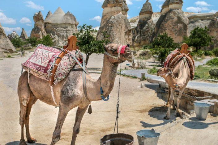 Kamele in Kappadokien