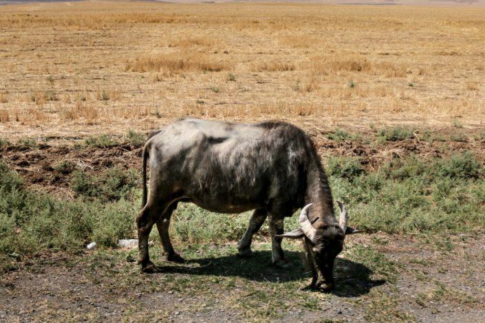 Wasserbüffel | warum diese gehalten werden ist uns noch unklar
