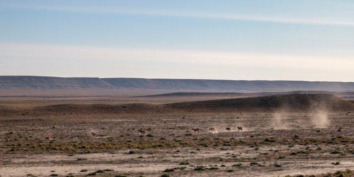 Wildpferde in der kasachsischen Steppe