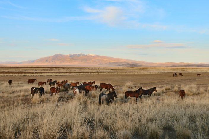 Wildpferde in Altai