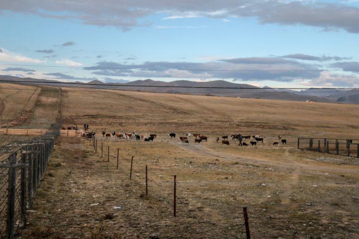 Auch für die Kühe macht die Grenze erst um 9 Uhr auf