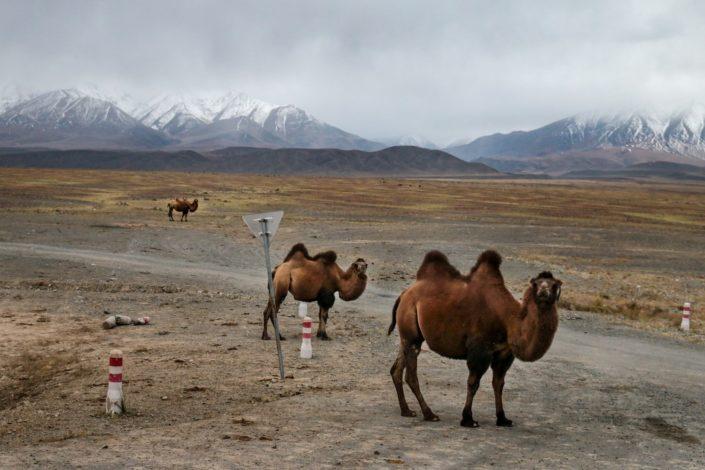 Trampeltiere in der Mongolei