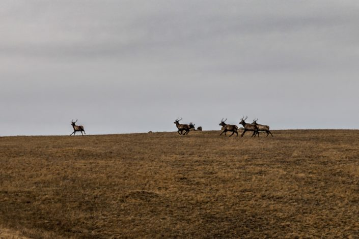 Hustai Nationalpark | Sibirische Wapitis