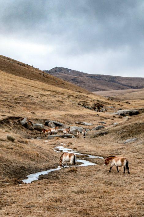 Hustai Nationalpark | Przewalski-Urwildpferde
